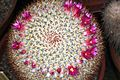 Mammillaria haageana haageana pm.JPG