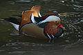 Mandarin Duck (4050645917) (3).jpg