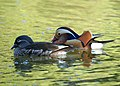 Mandarin Ducks (10370612504).jpg
