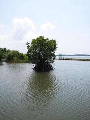 Ezhome - Mangroves in Ezhome