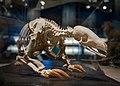 Manis pentadactyla skeleton NMNS.jpg
