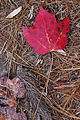 Maple Leaf Red Ground 2000px.jpg