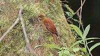 Margarornis rubiginosus