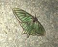 Mariposa gigante (44922645372).jpg