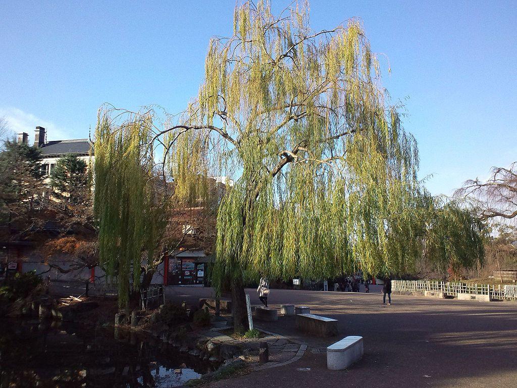 Maruyama-kôen Park - Willow