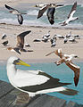 Masked Booby From The Crossley ID Guide Eastern Birds.jpg