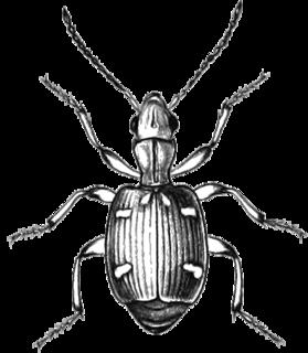 <i>Mastax</i> genus of insects