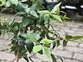 Maytenus acuminata - Silky bark tree - leaves - Cape Town 3.jpg