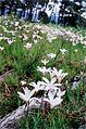 Meadowridge Common Cape Town - Sparaxis bulbifera.JPG