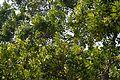 Melaleuca leucadendron - Agri-Horticultural Society of India - Alipore - Kolkata 2013-01-05 2224.JPG