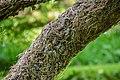 Melaleuca linariifolia in Eastwoodhill Arboretum (1).jpg