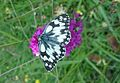 Melanargia galathea (Nymphalidae) (Marbled White), Lorry-Mardigny, France.jpg