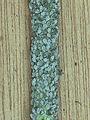 Melige koolluis op boerenkool, Brevicoryne brassicae on curley kale.jpg