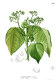Melochia arborea Blanco1.189.png