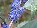 Memecylon umbellatum flowers at Peravoor (9).jpg