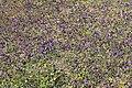Meppen - Borkener Paradies + Viola tricolor 06 ies.jpg