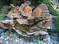 Meripilus giganteus orijaski zbunac.jpg