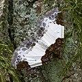 Mesoleuca albicillata.jpg