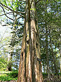 Metasequoia Glyptostroboides2.jpg