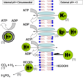 Methods of ph homeostasis and energy generation in acidophiles.png