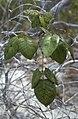 Metopium toxicodendron, Poisonwood. Northern Inagua. (38870467811).jpg