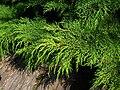 Microbiota decussata foliage PAN.JPG