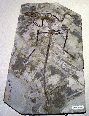 Archaeoraptor - Microraptor zhaoianus fossil displayed in Hong Kong Science Museum