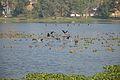 Migratory Birds - Santragachi Lake - Howrah 2013-01-25 3576.JPG