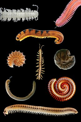 Millipede collage.jpg