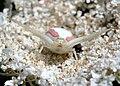 Misumena vatia on Achillea millefolium qtl4.jpg