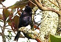 Molotrhus bonariensis (Chamón parásito) - Macho (14191559669).jpg
