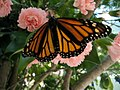 Monarch On A Carnation (175671088).jpg