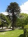 Monkey Puzzle Tree.jpg