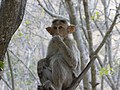 Monkey from Savandurga IMG 2521.jpg