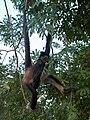 Mono araña - Quintana Roo - México.jpg