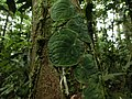 Monstera (climbing plant) in Costa Rica.jpg