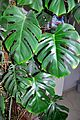 Monstera deliciosa Swiss Cheese Plant მონსტერა.JPG