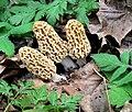 Morchella americana Clowez & C. Matherly 519722.jpg