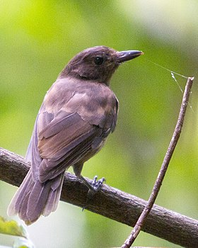 Morningbird Colluricincla tenebrosa photographed in Palau in 2013 by Devon Pike.jpg