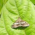 Moth Hawaiian Beet Webworm (Spoladea recurvalis) from Madayipara DSCN2231.jpg