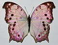 Mother-of-pearl Butterfly (Protogoniomorpha parhassus) (8368125628).jpg