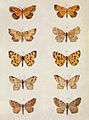 Moths of the British Isles Series2 Plate119.jpg