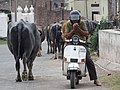 Motorcyclist with Passing Buffaloes - Chandigarh U.T. - India (26478554216).jpg
