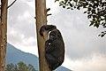 Mountain Gorilla on a tree, Volcanoes Park, Rwanda.jpg