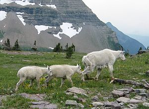 Rocky Mountain Goats (Oreamnos americanus), Wa...