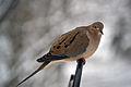Mourning Dove (Zenaida macroura) (12001896055).jpg