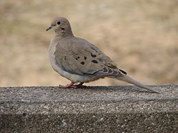 Mourning Dove Image 002.jpg