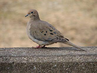 Zenaida doves - Mourning dove (Zenaida macroura)