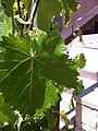 Mourvedre leaf 3.jpg