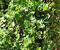 Muehlenbeckia adpressa Loch Ard.jpg
